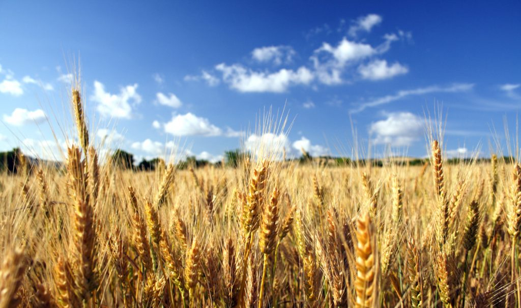 wheat on blue sky