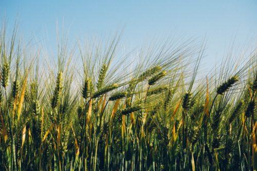 cereali_autunno_vernini